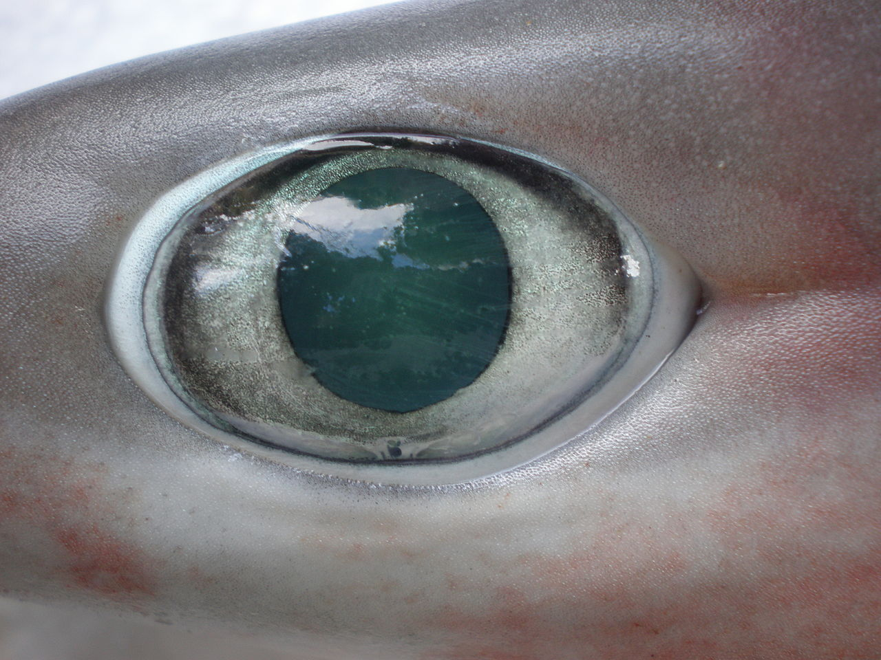 Bigeyed Sixgill Shark