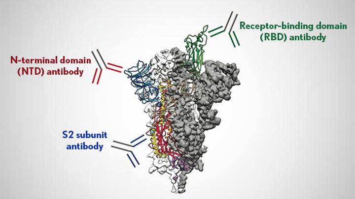 Antibodies target the coronavirus spike protein.