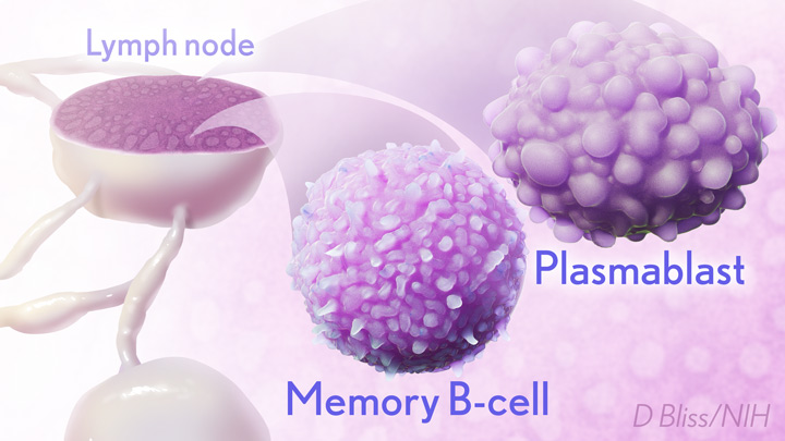 COVID memory B-cell.
