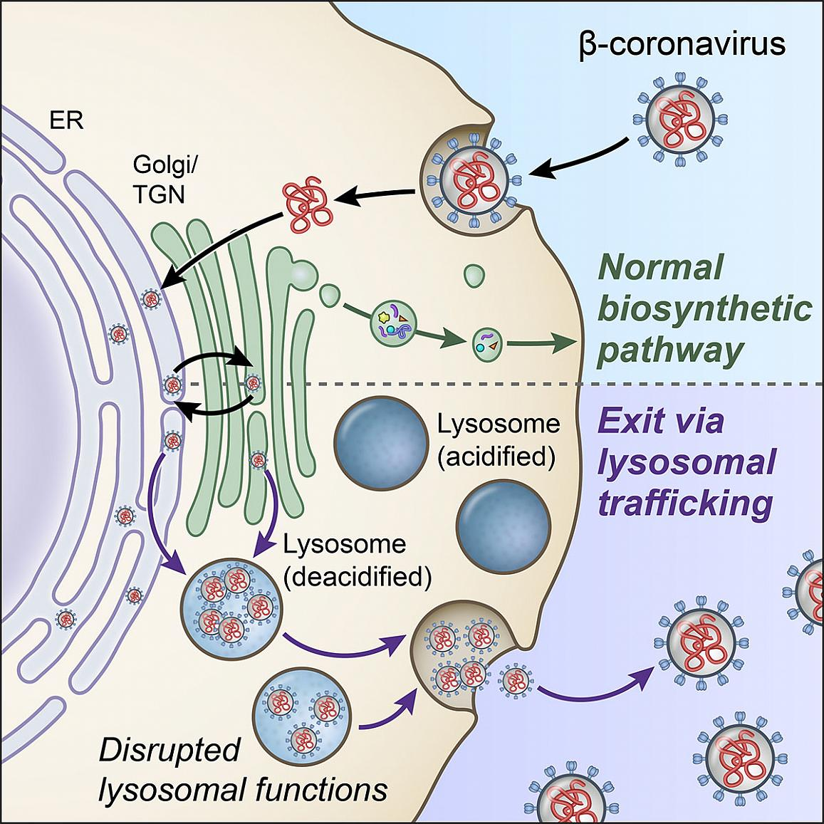 An illustration of the process by which the coronavirus exits a healthy cell.