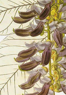 The mucuna pruriens, a hand-colored engraving from the Botanical Register (1838).