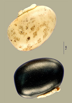 Mucuna pruriens seeds of two different colors, each about the size of a chicken egg.