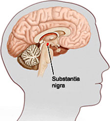 An illustration showing the location of the substantia nigra.