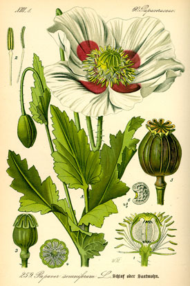 Illustration of Papaver Somnifera