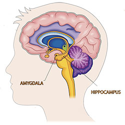 Illustration of human brain showing the amygdala and hippocampus