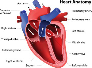 Illustration: Heart Anatomy