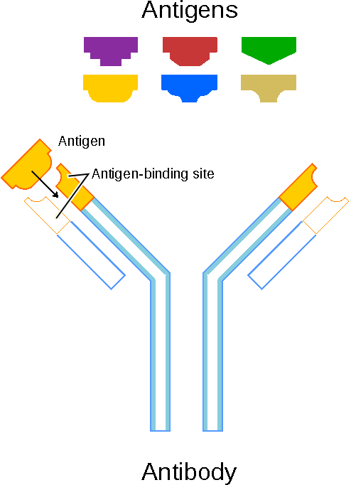 schematic diagram of antibody and antigens