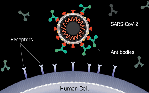 Illustration of Antibody Binding to Virus