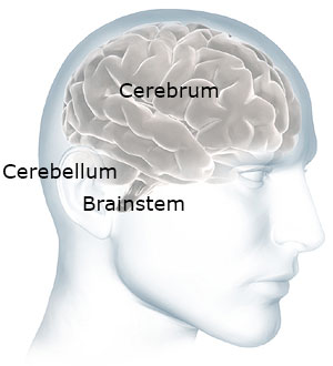 The cerebellum and brainstem are at the back of your head below the cerebrum.