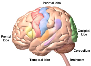 The four lobes of the cerebrum, plus the cerebellum and the brainstem.