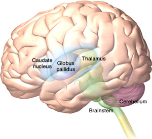 An illustration showing the location of the caudate nucleus and the globus pallidus in the lateral brain.