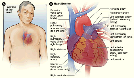 A drawing showing the anatomical location of the coronary arteries.