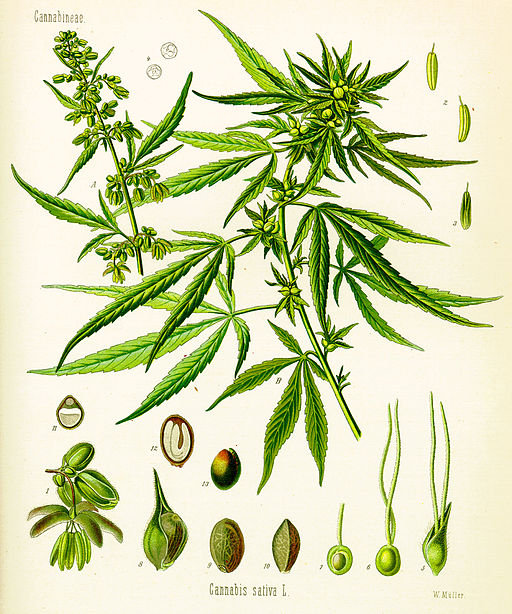 Botanical Drawing of Cannabis