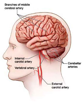 The carotid and vertebral arteries of the human brain.