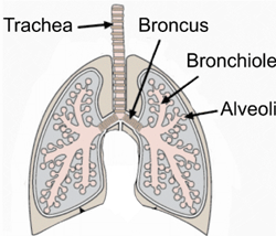 A diagram of the lungs.