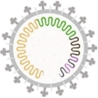 Illustration: Coronavirus Envelope Showing Spike Proteins