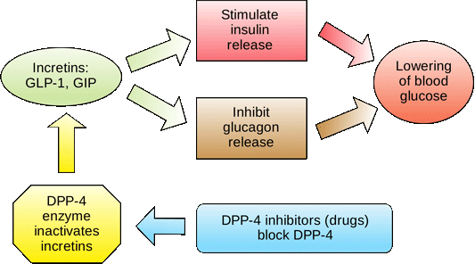 An illustration showing the role of incretins and insulin.