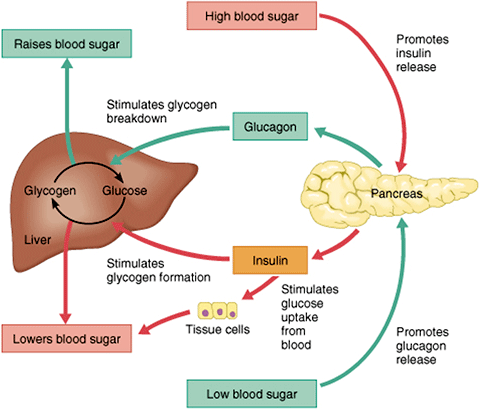 A graphic showing how glucose is metabolized after eating.