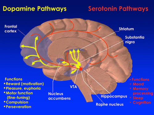 Illustration Showing Dopamine Pathways in the Brain