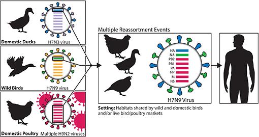 Diagram: H7N9 Virus in China 2013