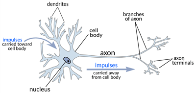The path of a nerve impulse through a healthy neuron.