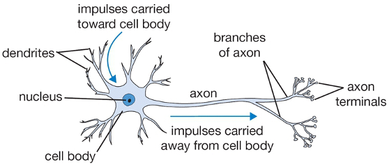 Image: Healthy Neuron Showing Nucleus, Cell Body, Dendrites, and Axons