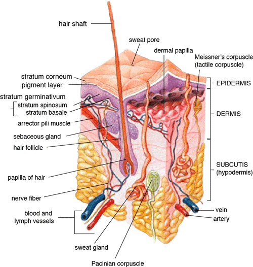 Illustration: Anatomy of the Human Skin