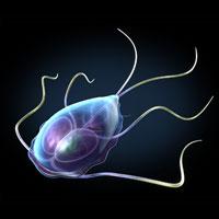 An image of a giardia protozoa.