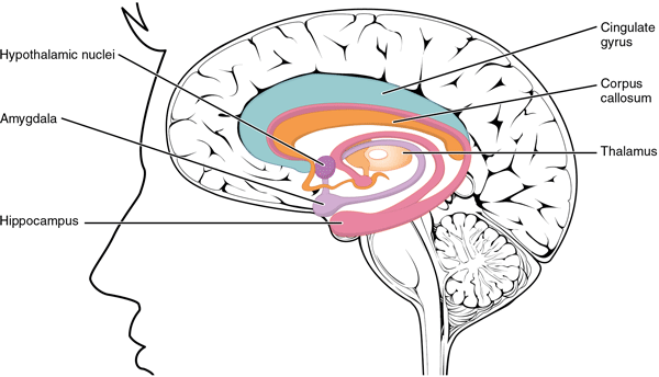 Illustration: The Limbic System