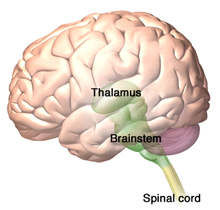 A illustration of the destinations of the spino­thalamic and spinoreticular tracts in the brain