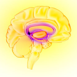 An illustration showing the limbic system--the brain's reward circuit.