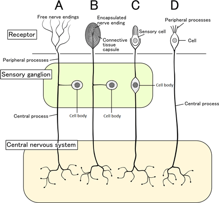 An illustration of sensory pathways from the skin to the spinal cord to the brain.