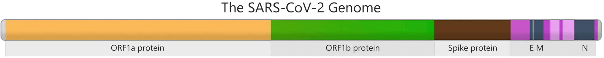 Illustration: SARS-CoV2 Genome
