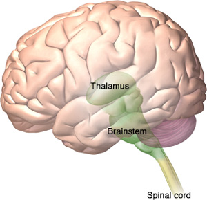 brain illustration showing the location of the thalamus